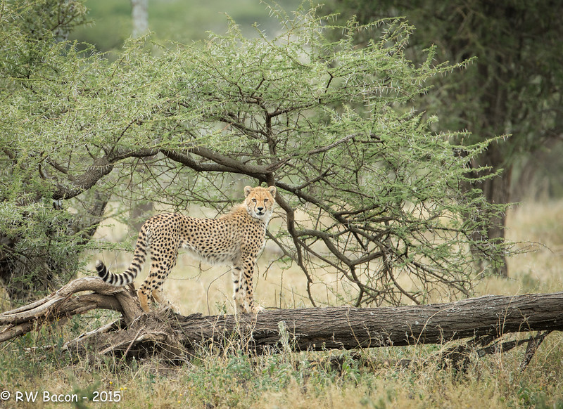 Cheetah Juvie on a Tree -2.jpg