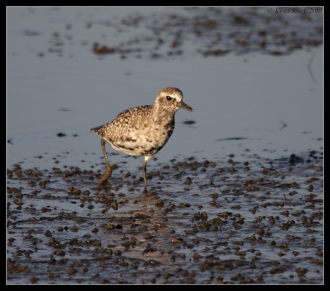 Black-bellied Plover getting its breeding plumage, San Elijo Lagoon, San Diego County, California, March 2010