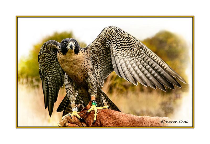 Peregrine Falcon 3 sm.jpg