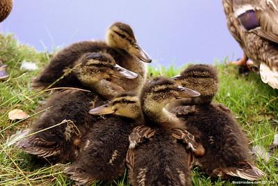 Ducks Set 1