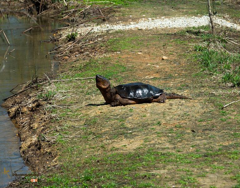 Turtle at Kenilworth.jpg