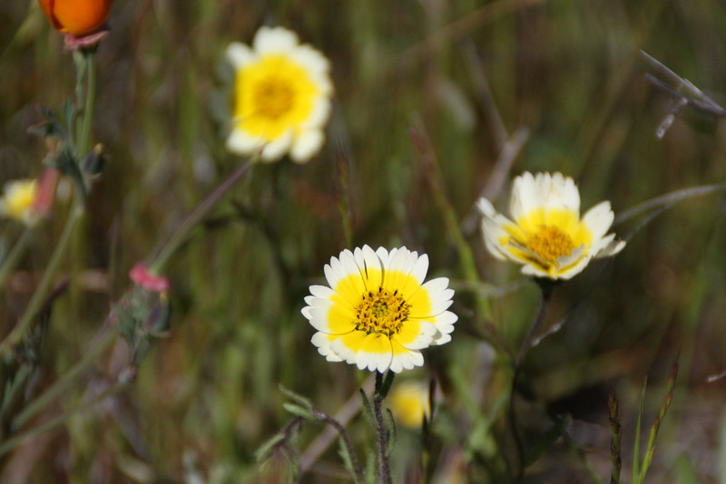 Tidy Tips (probably smooth t.t.  - Layia chrysanthemoides); these are are native and endemic.