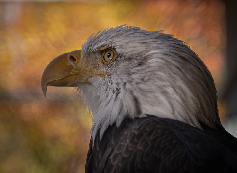 _5005004 Mr Serious Bald Eagle at VINS.jpg