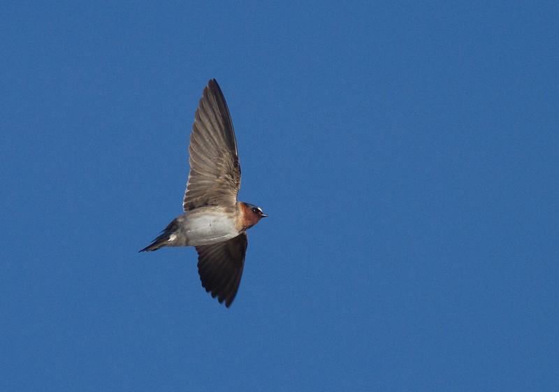 Cliff Swallow Kimmes-Tobin Wetlands Douglas County WIIMG_7817.jpg