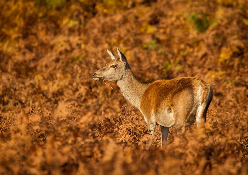 Red Deer Hind in Bracken