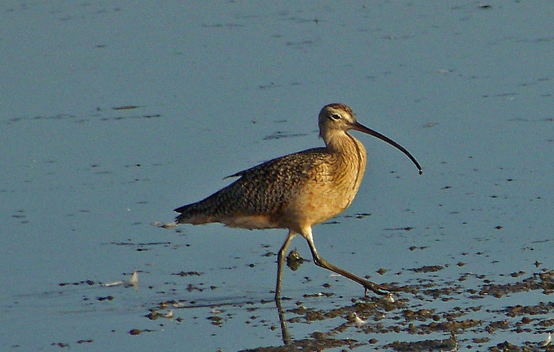 Curlew Steppin' Out (Corte Madera Marsh)