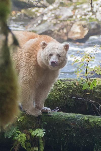 Spirit Bear Looking.jpg
