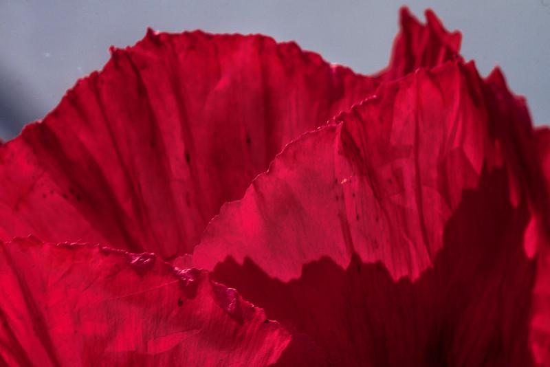 Poppy Petals - 400mm