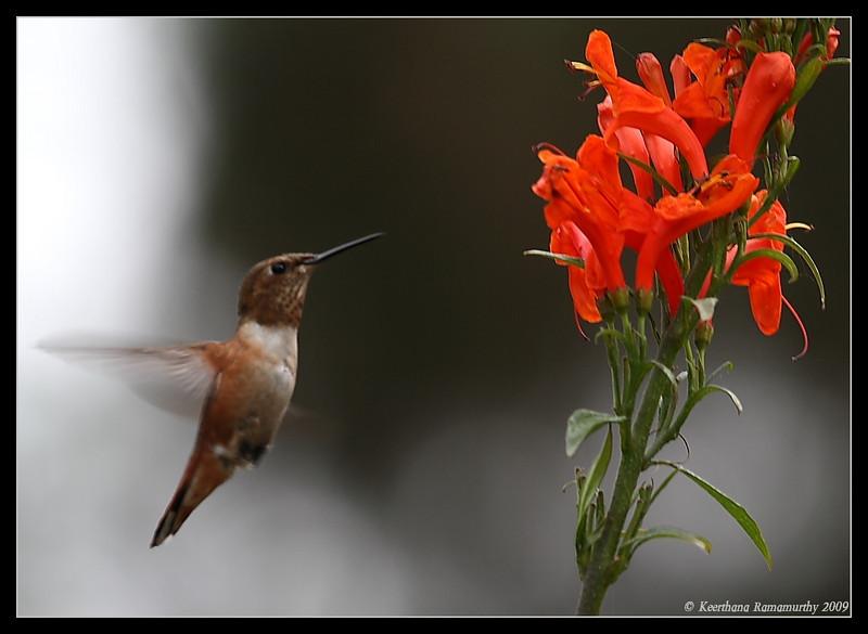 Allen's Hummingbird, Bird & Butterfly Garden, San Diego County, California, July 2009