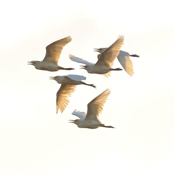 Cattle Egret-02207-3.jpg