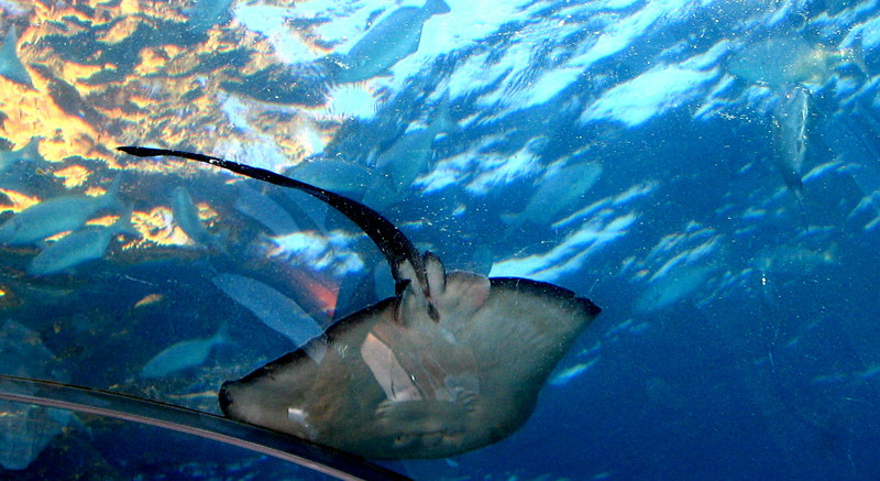 A manta cruises by the ceiling during dinner at Ithaa