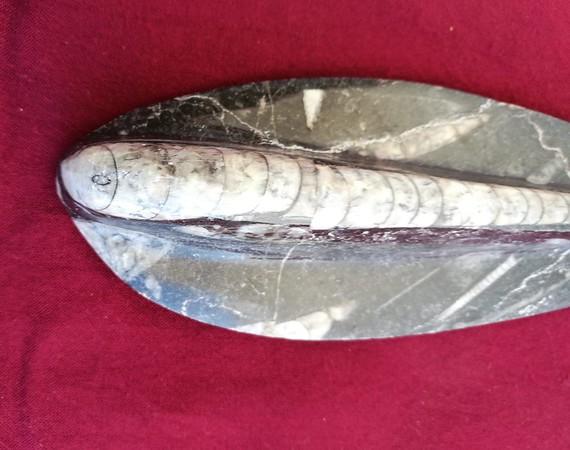 #2433 Orthocerid Cephalopod (16,0 cm)