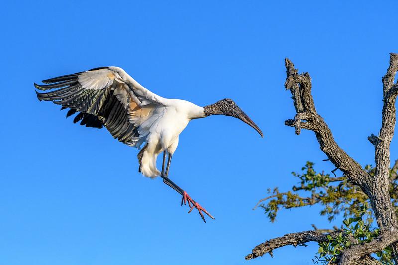 Wood Stork - landing  -