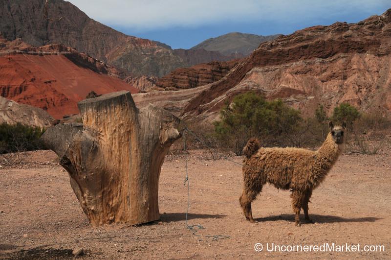 Llamas and Red Rocks in Northwestern Argentina