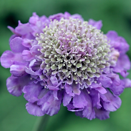 Scabious Butterfly Blue Beauty Images