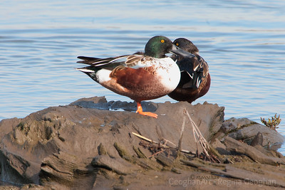 Ducks - Northern Shoveler