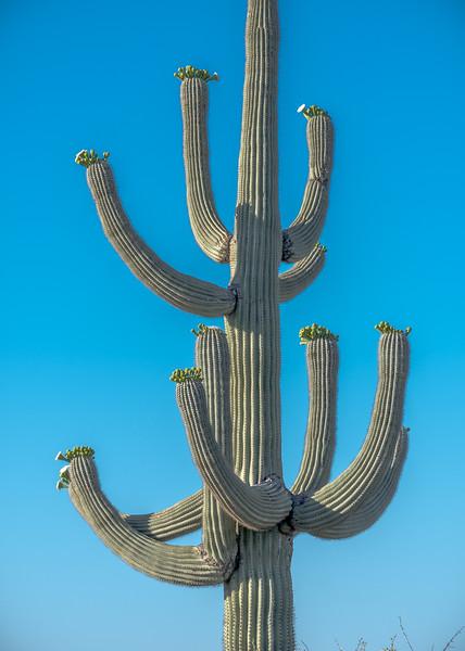 I-11 Tall Saguaro w Multiple Arms #3