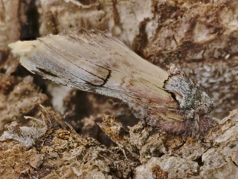 Pale Prominent-Oligocentria pallida-2019-08-01-19.59.14P