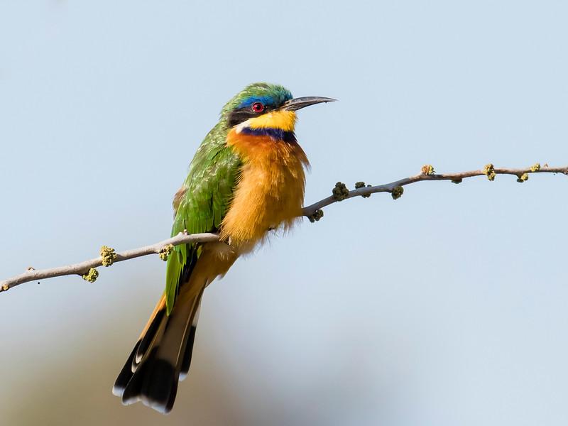 Ethiopian Bee-eater