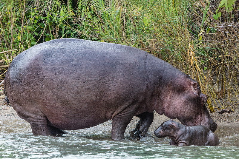 mother hippopotamus tending to baby.jpg
