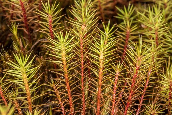 Genus Polytrichum - Haircap mosses