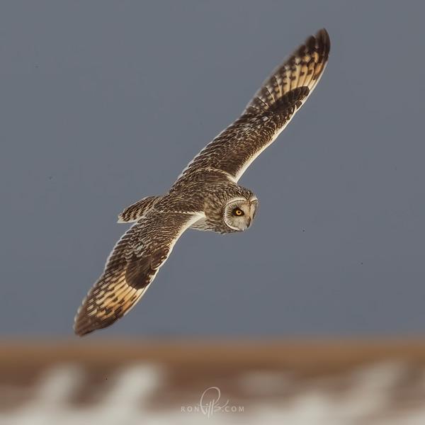 sm owl_M4D9099 2.jpg