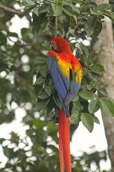 Scarlet Macaw in almond tree, Puerto Jimenez, Costa Rica