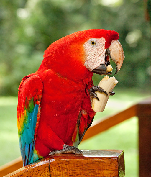 At the Tambopata Research Center in Peru, a scarlet macaw which was hand-raised there 20 years ago. They live in the wild, but pay return visits nearly every day.
