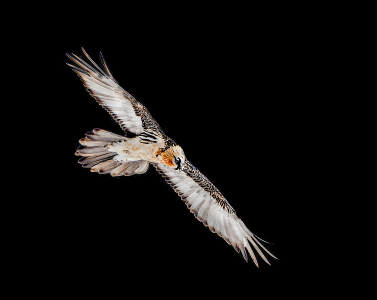 Bearded vulture glides through the air