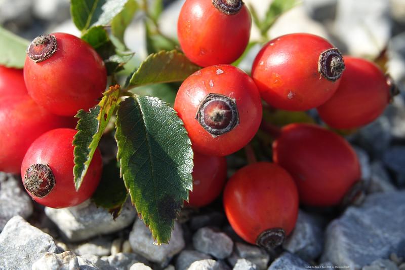 63 Fruit of the rose 2.jpg