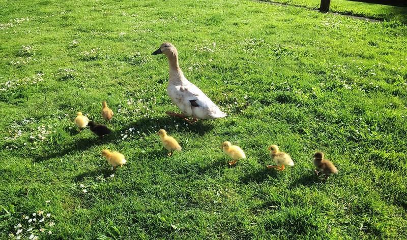 It's a duckling season!