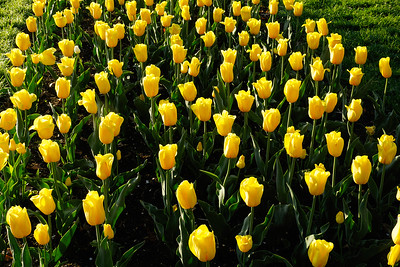 Tulip Gardens_May 9, 2018