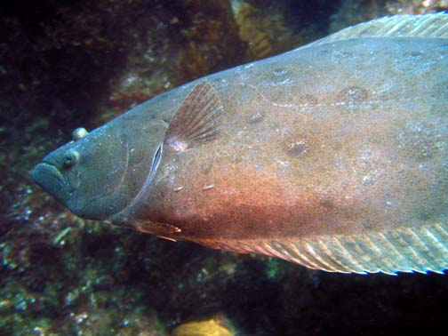 Peter Gallup Free swimming halibut Catalina, Purple Caverns Olumpus 4040 Ikelite Housing Video Lights I could not believe all the fish in this area, and then I find out it is a preserve.