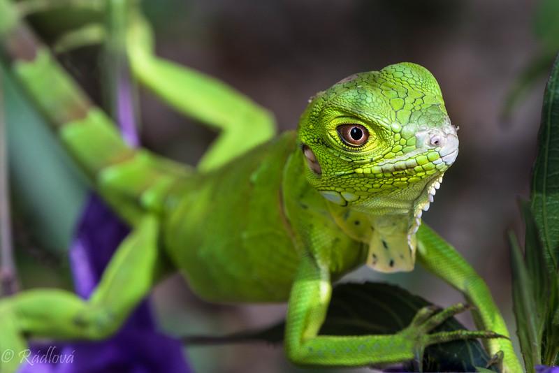 Young Iguana in flowerbush (1 of 1)-Edit.jpg