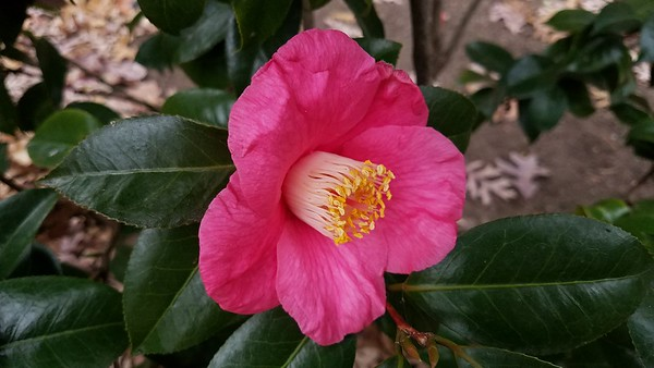 Tydings Hall Camellia Collection, December 5, 2017
