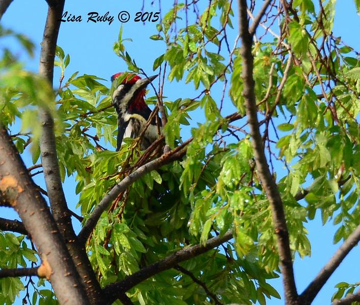 Yellow-bellied Sapsucker - 2/17/2015 - Collier Park, Ramona
