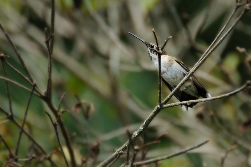 Immature Male Ruby-Throated Hummingbird