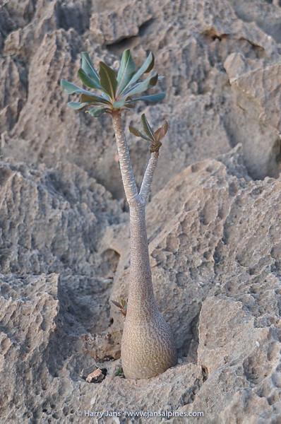 Adenium obesum ssp. socotranum