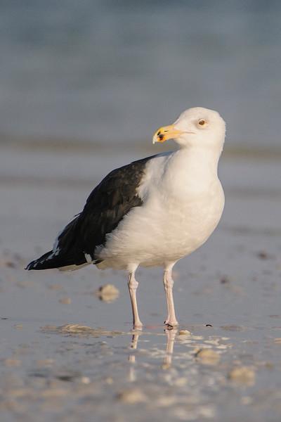 Gull - Great Black-backed - Sanibel Lighthouse - Sanibel Island, FL