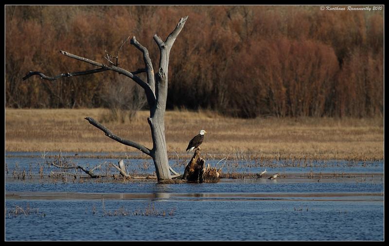 Bald Eagle habitat, Bosque Del Apache, Socorro, New Mexico, November 2010