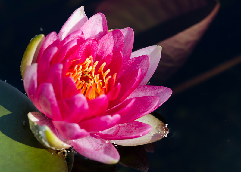 water lily 2.jpg