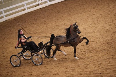 102. SHHA Breeders STAKE – Four/Five Year Old Harness Pony