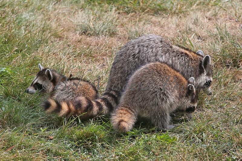 Raccoon family_4199.jpg