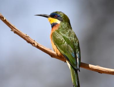 A 26 Bee-eater,Roller-Bienenfresser,Racken
