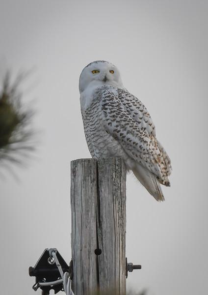 DSC_2406 Snowy Owl Thumper.jpg