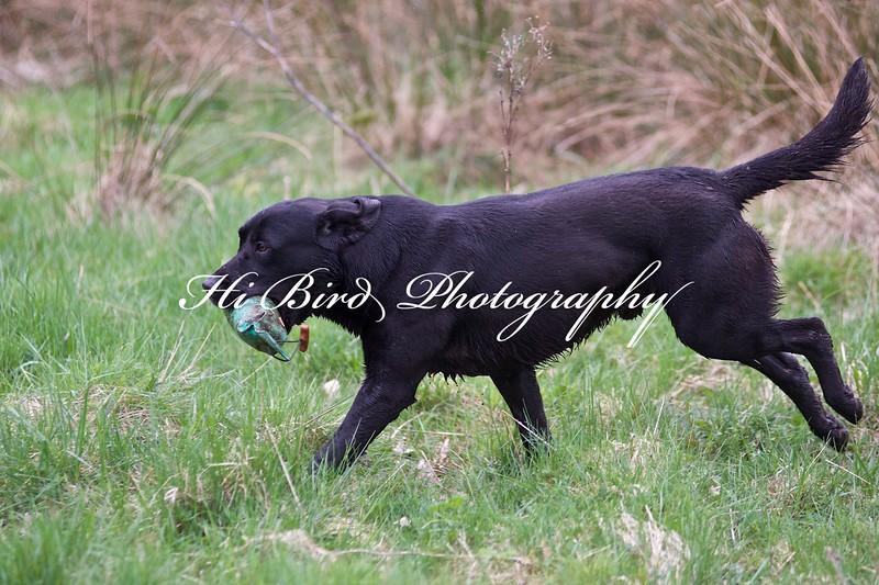 Black dog 2605.jpg