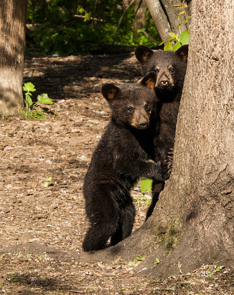 Bear Cubs-11.jpg