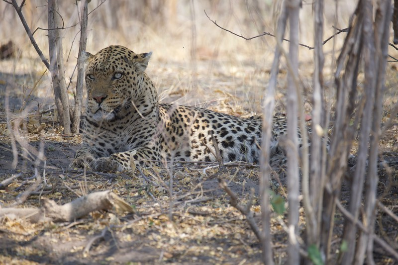Leopard and Warthog, Selinda Explorer camp, Botswana