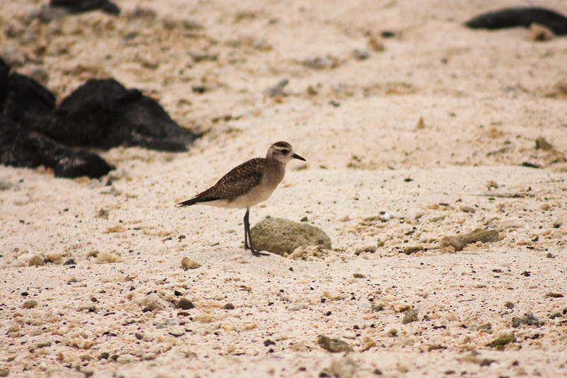Bird Looking Back 2: Journey into Genovesa Island in the Galapagos Archipelago
