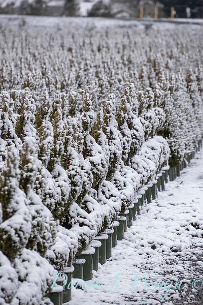 Picea glauca 'Conica' spirals - can yard in snow_4108.jpg